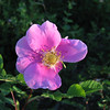 Wild Rose at Sunrise