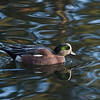 Widgeon at Cannon Hill Park Pond