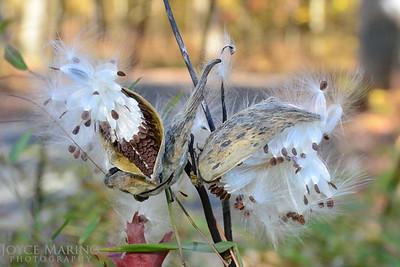 Milkweed in the Fall -- DSC_6727