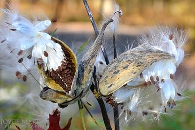 Milkweed in the Fall -- DSC_6724