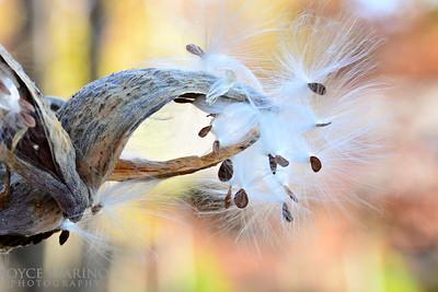 Milkweed in the Fall -- DSC_6711
