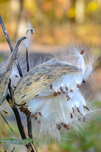 Milkweed in the Fall -- DSC_6728