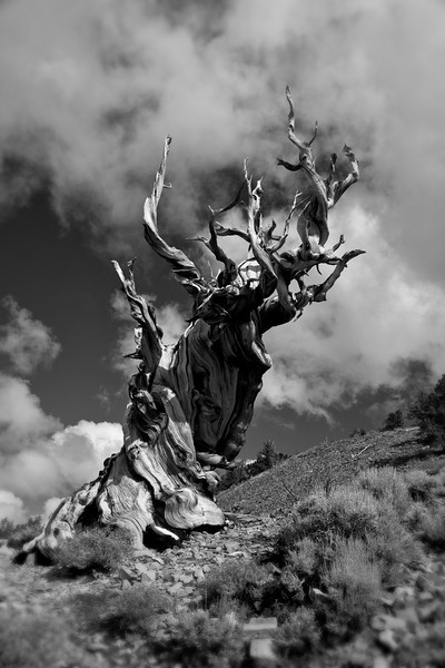 Bristlecone Pine, Bishop, CA