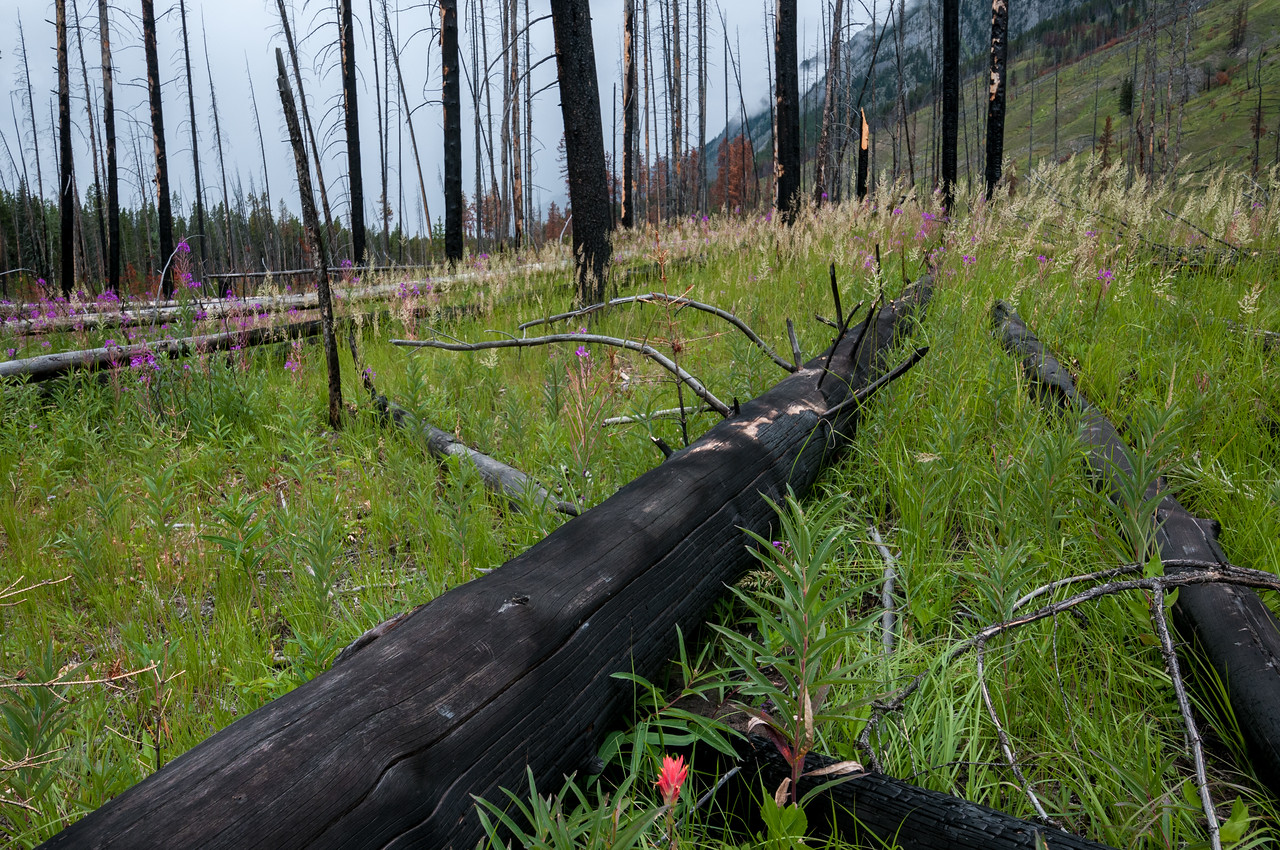 Regeneration after a forest fire, Banff National Park