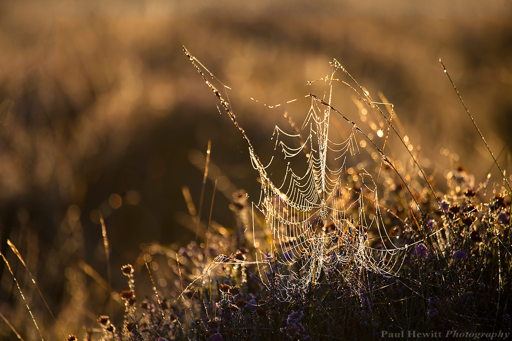 Golden Morning Web