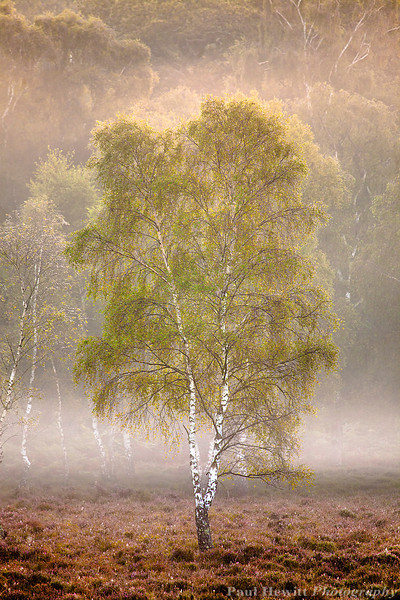 Golden Silver Birch