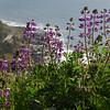 338  G Cape Perpetua Flowers V