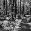 16  G Leadbetter Trail Trees BW