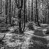 16  G Leadbetter Trail Trees BW
