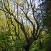 56  G Cape Perpetua Trail Tree V
