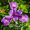 62  G Cape Perpetua Iris