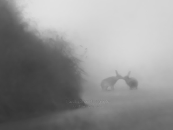 Two Hares in the fog near Pym's Chair, Kettleshulme, Cheshire in the U.K.'s Peak District