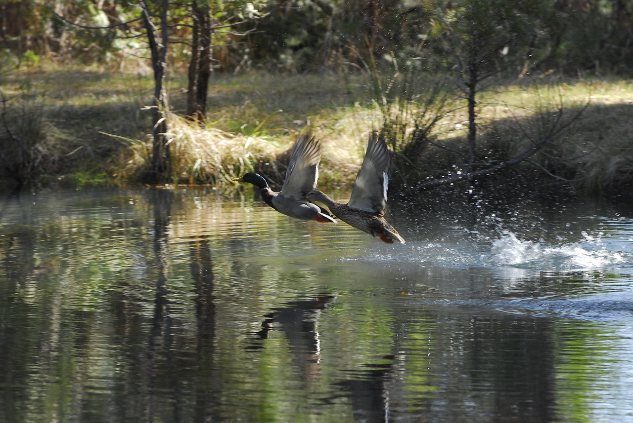 Ducks Taking to Flight