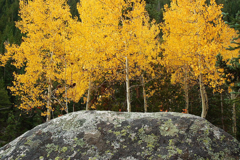 Aspen near Grotto White River National Forest, Colorado