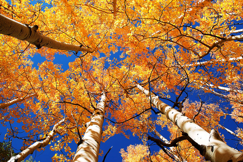 Aspen Canopy White River National Forest, Colorado - Steve Sieren