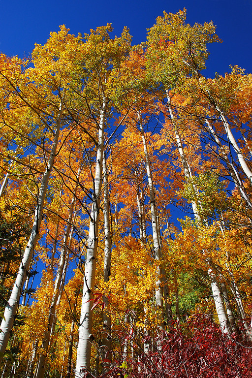 Fall Aspen San Juan National Forest, Colorado - Steve Sieren