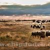Cattle_sandhills_9S7O4799
