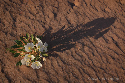 Birdcage primrose Mojave Desert Wildflowers in sand dunes, Joshua Tree Wilderness