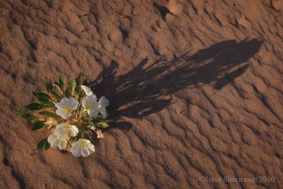 Birdcage primrose Mojave Desert Wildflowers in sand dunes, Joshua Tree Wilderness