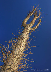 Baja California  A dormant boojum tree aka cirrus cactus.