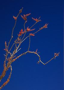 Ocotillo bloom in detail
