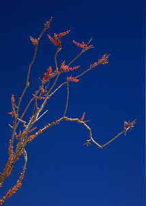 Ocotillo bloom in detail