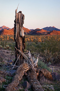 Death of a Saguaro Maricopa Mountain Wilderness, Arizona