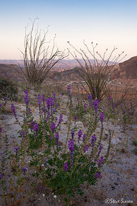 Carrizo Badlands display of Arizona Lupine and Ocotillo.  Just a few of the desert flora you may find in Anza Borrego State Park in California's Colorado Desert (a small section of the Sonoran Desert).