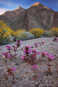 Wildflowers under Indianhead Peak at Anza Borrego State Park, California