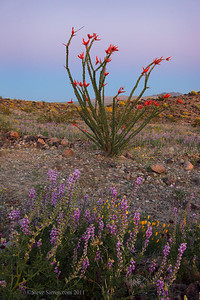 Blooming ocotillo and arizona lupine in Joshua Tree National Park