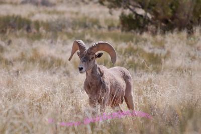 Bighorn Sheep at Canyonlands National Park.