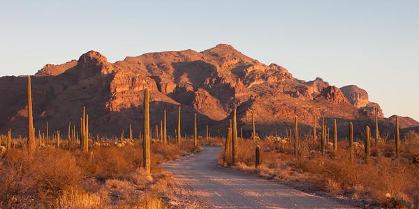 Organ Pipe Cactus Sunset Light 5509p
