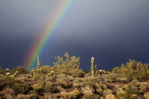 A clearing storm at Lost Dutchman State Park in Arizona created this rainbow over the desert. <br /> I arrived at the park with about an hour of light left in the day. It began to rain and I was totally exposed with out an umbrella and any protection for my camera gear. I set up my tripod in anticipation of some light coming from under a cloud. <br /> This rainbow formed briefly and faded slightly then it came back much stronger so I had to work quickly and find some foreground interest, I was hoping to capture the complete arc with the right side over the Superstition Mountains but it never formed.  <br /> I moved around and found some cactus and desert brush to give me some for ground interest. I was able to take a few frames and was satisfied with the result.