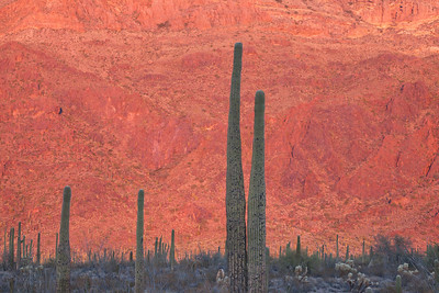 Organ Pipe Red 5525
