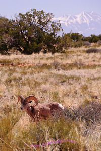 Big Horn Sheep at Canyon lands Island in the Sky National Park.