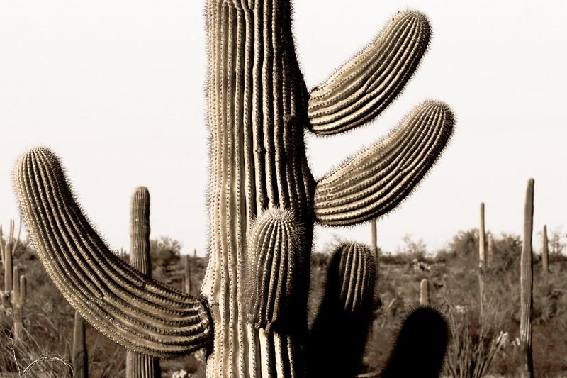 Organ Pipe Cactus 5505bw