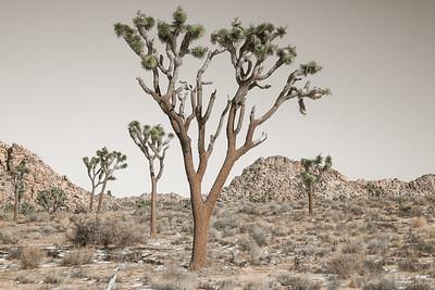 Joshua Tree Landscape 2784cs