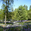 May 2009. Bluebells, Trossachs, Stirlingshire.