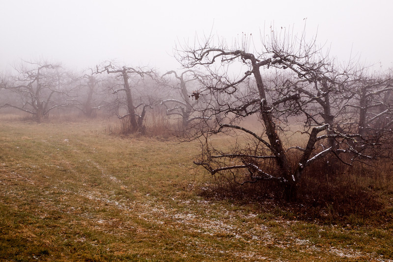 More fun in a foggy apple orchard.