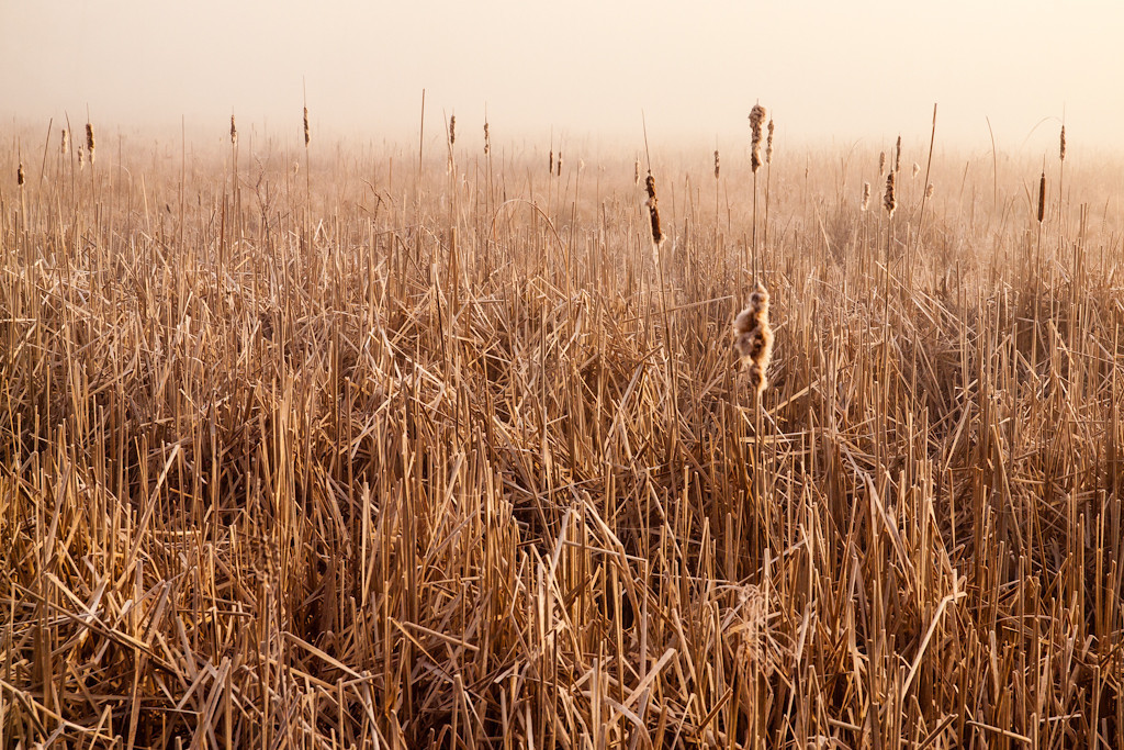 Another shot of Cohas Marsh. I loved the subtle light in the reeds and the feeling of organized chaos.