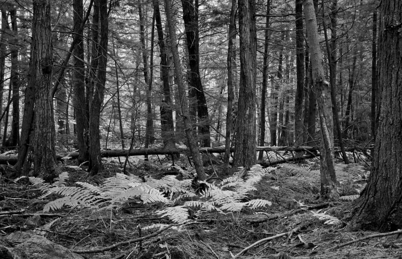 A creepy part of an otherwise pleasant forest.  I keep expecting the hunter in Snow White to come with his axe.