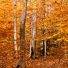 Parts of the Ridge trail at the Fox state forest wind through dense beech groves. They are just incredible when they reach this stage - shades of gold so rich you feel a tiny bit like King Midas. For this shot I leaned the camera against a tree, holding it over my head and using the flip out screen to compose.