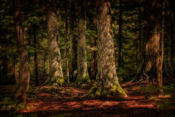On the Trail of the Cedars