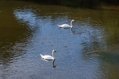 Swan Duo at Arley