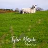 19  B Sheep on Hill