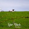 20  B Sheep on Hill