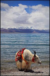 Yak on the Shore of Lake Namtso
