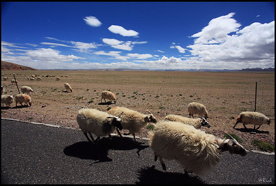 Herds of Sheep on the Shore of Lake Namtso