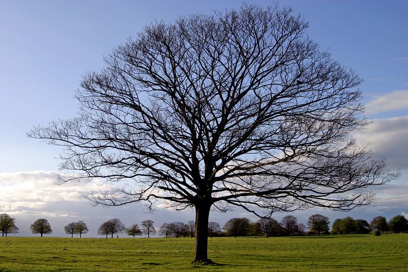 Beverley Westwood Trees
