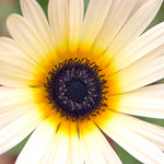 Eden Flower 2, 29-3-2006 (IMG_5441) Max